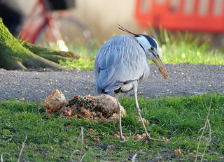 gray heron | by foxtail_1