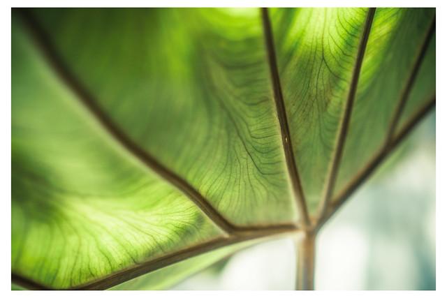 Light Passing Though Large Leaf - Chanticleer - Wayne PA_Web 1_Scaled