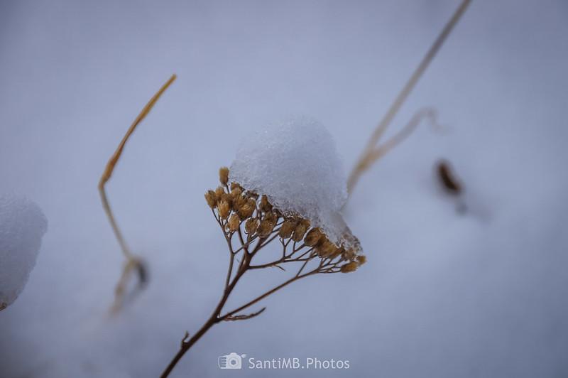 Nieve fundiéndose sobre una planta seca