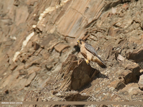 Barbary Falcon (Falco pelegrinoides) | by gilgit2