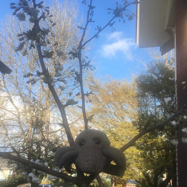 Cherry blossom mite