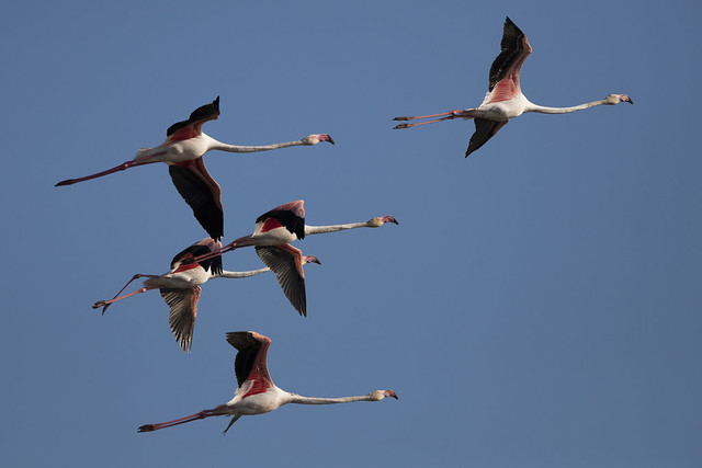 Five Fine Flamingos Flying Furiously