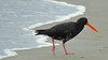 Variable Oystercatcher  Haematopus unicolor by Neil Cheshire
