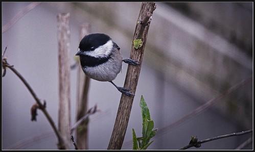 nature outdoor animal bird chickadee blackcappedchickadee poecileatricapilla branch