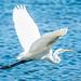 Great Egret por Clifford Pringle