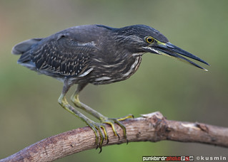 striated heron (butorides striata) | by punkbirdr