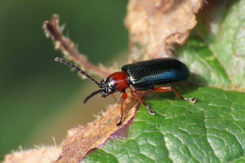 Cereal Leaf Beetle - Oulema melanopus s.l.