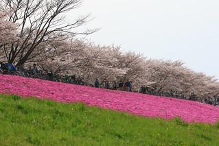 桜と芝桜 | by kimuchi583