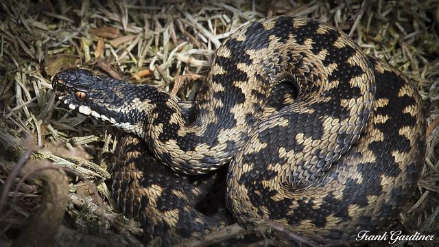 Adder (male)