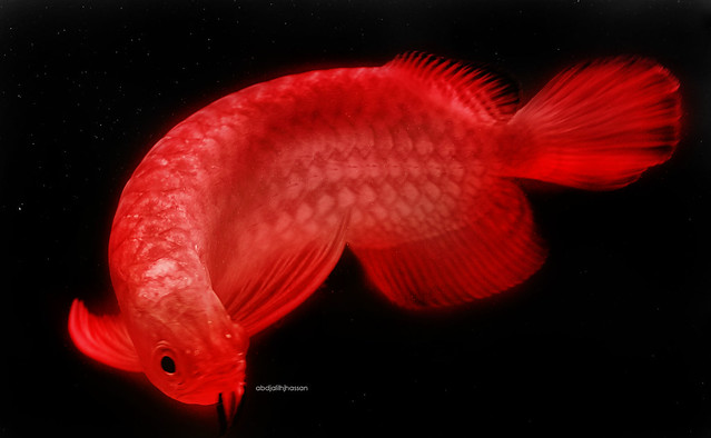 arowana in red