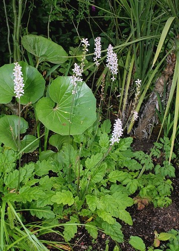 Francoa sonchifolia 45628578435_2e36529940