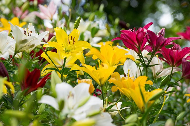 Обои лето, лилии, разноцветный картинки на рабочий стол, раздел цветы - скачать