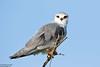 Black-shouldered Kite, Elanus caeruleus by Kevin B Agar