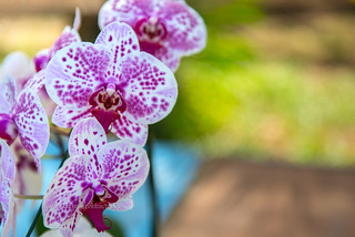 Close-up white moth orchid (phalaenopsis) with pink dots. | by baddoguy