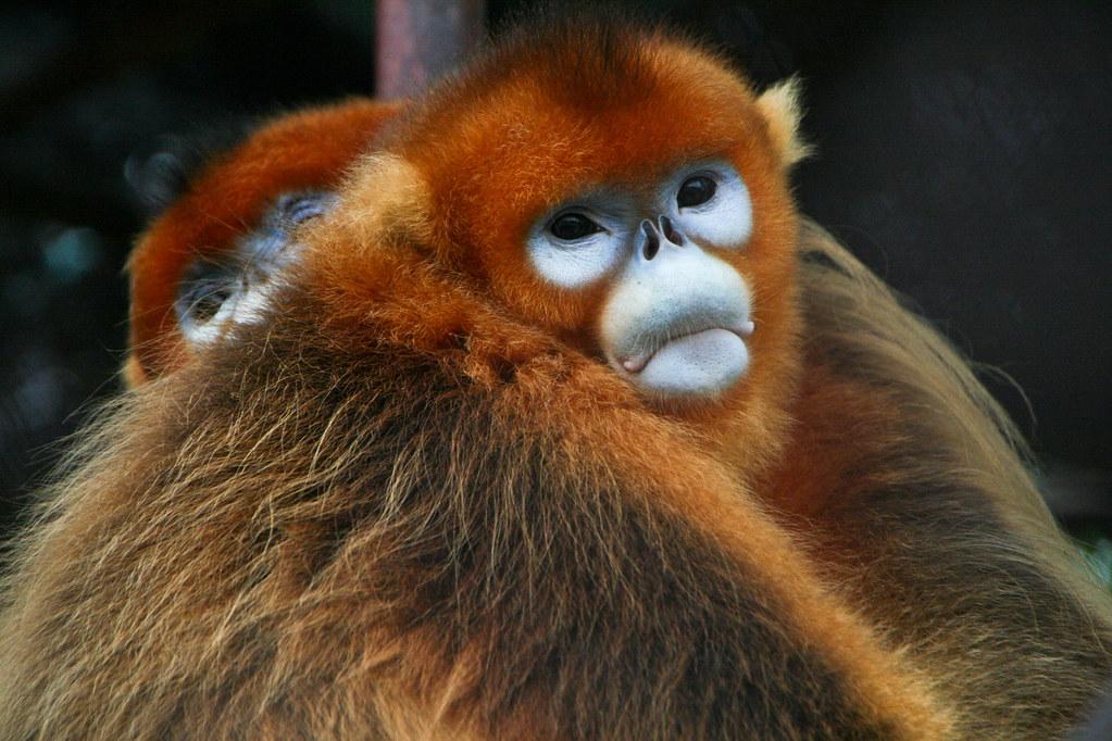 原產於中國中部及西南部,金絲猴目前瀕臨絕種。圖片來源: Jack Hynes