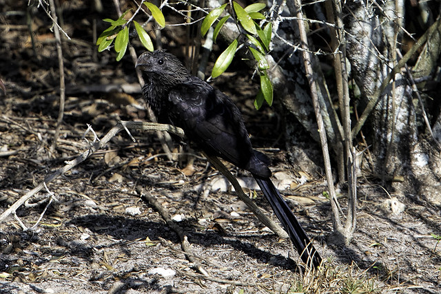 Plantation Preserve: Smooth-billed Ani
