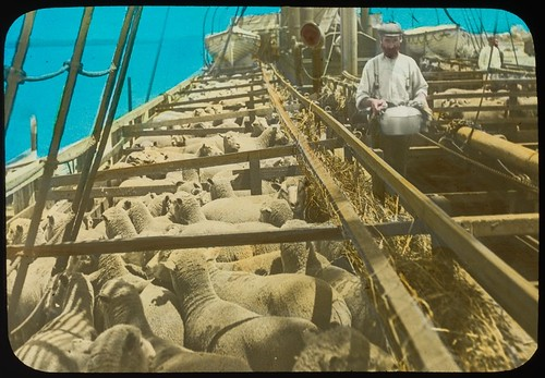 Penned sheep on a boat ready to be shipped, Pinkenba, Brisbane, Queensland, ca. 1910