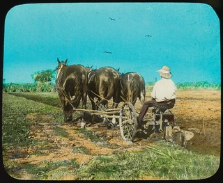 Man seated on plough pulled by three horses, Bundaberg region, Queensland, ca. 1910