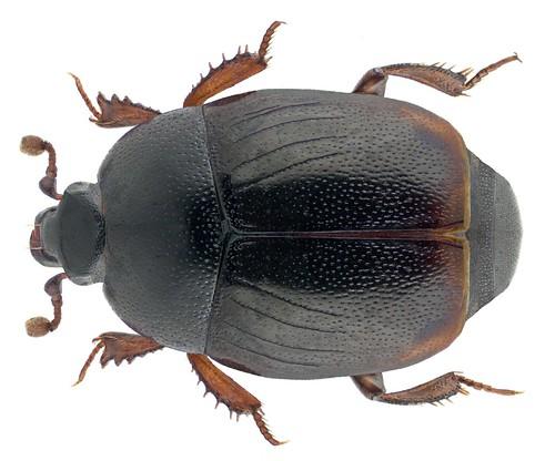 Gnathoncus rotundatus (Kugelann, 1792) | by urjsa