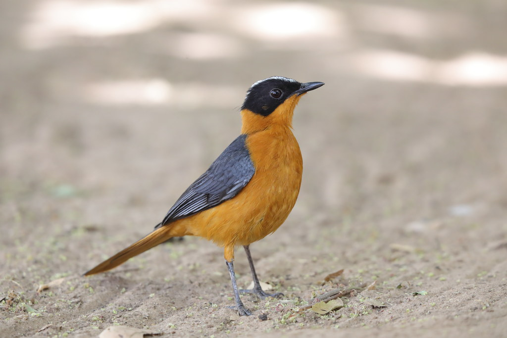 Snowy-crowned Robin-Chat  Cossypha niveicapilla