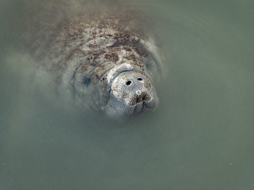 Manatee head shot | by Ed Rosack