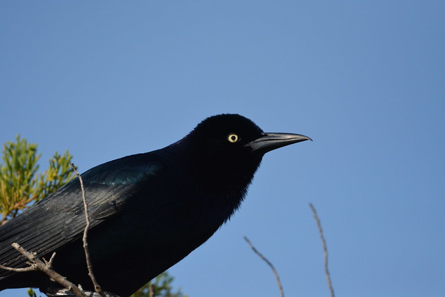 Boat-tailed Grackle (Yellow-eyed). Heritage River Road. Jacksonville, FL