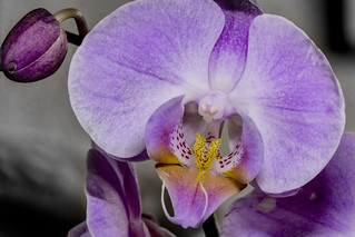 Pink orchid yellow inner - wider angle. | by Ray Duffill