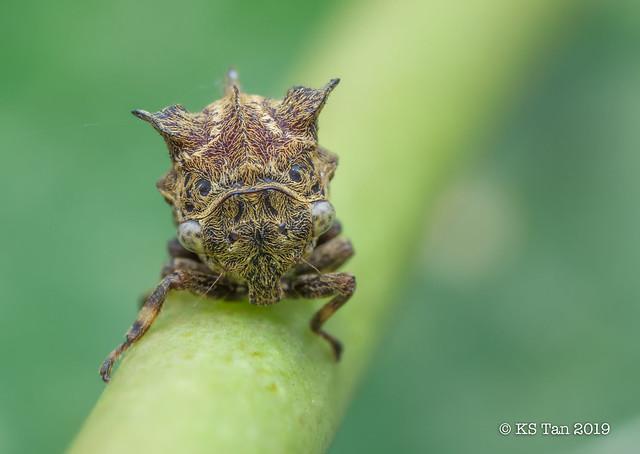 Treehopper (Membracidae) 2G1A7010