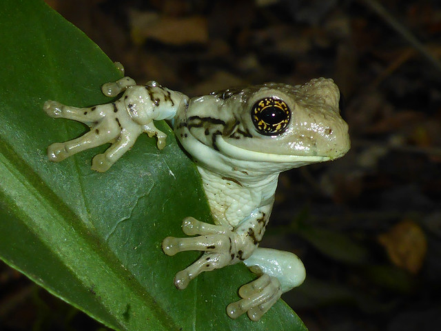 Veined Tree Frog - Trachycephalus typhonius