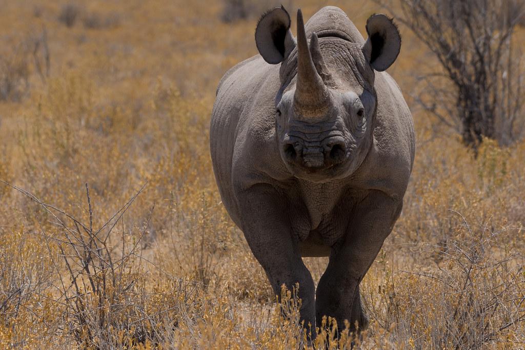 犀牛腳印就像人類指紋般獨特 科學家研發新技術打擊盜獵