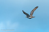 Goshawk in flight by Ponty Birder
