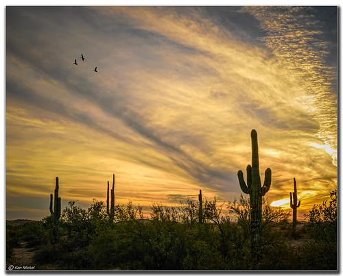 arizona cacti cactus clouds cloudy desert estrellla goodyeararizona kenmickelphotography landscape landscapedesert outdoors plants saguaro sunsets backlighting backlit nature photography goodyear unitedstates us