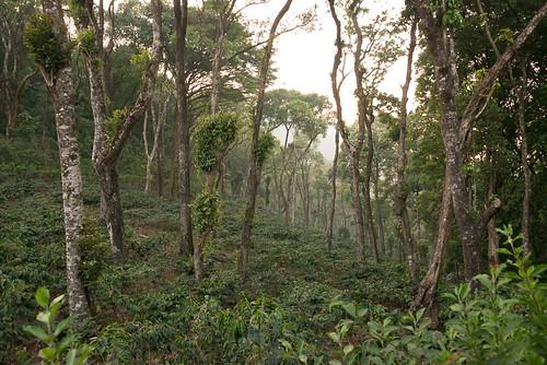 forêt végétation plantationdecafé paysage kabbinakad karnataka inde ind
