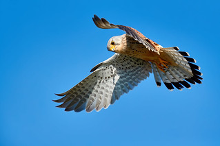 KESTREL MALE HUNTING | by Robin Procter