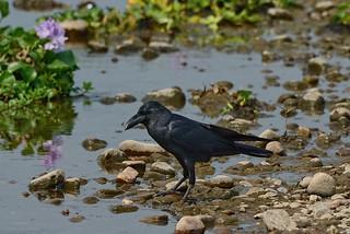 Большеклювая ворона, Corvus macrorhynchos tibetosinensis, Large-billed Crow   by Oleg Nomad