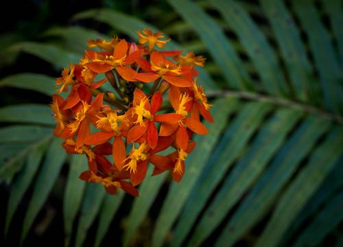 orchidée fleur kabbinakad karnataka inde ind