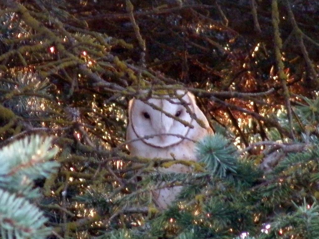 P4086291...barn owl