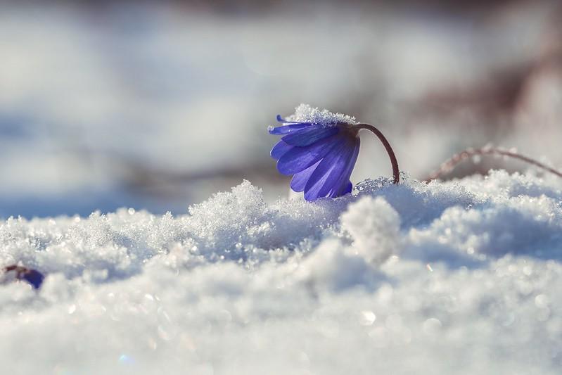 Обои макро, снег, весна, первоцвет картинки на рабочий стол, раздел цветы - скачать