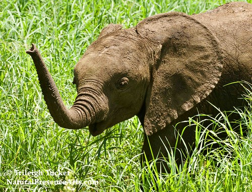 Tiny baby elephant, 3-4 weeks old | by Trileigh