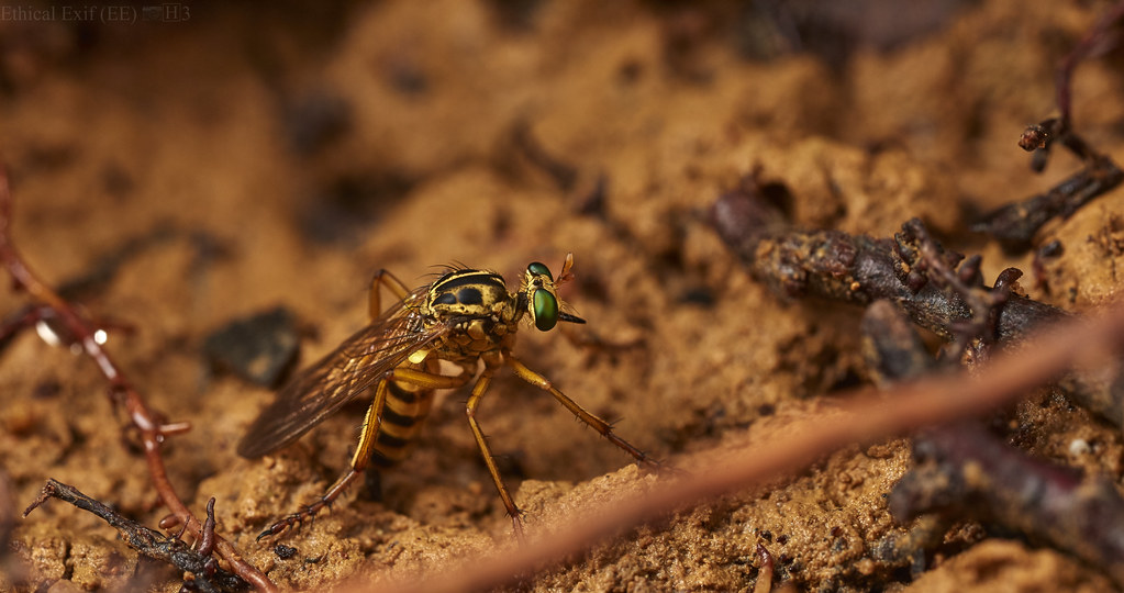 Robberfly laying eggs