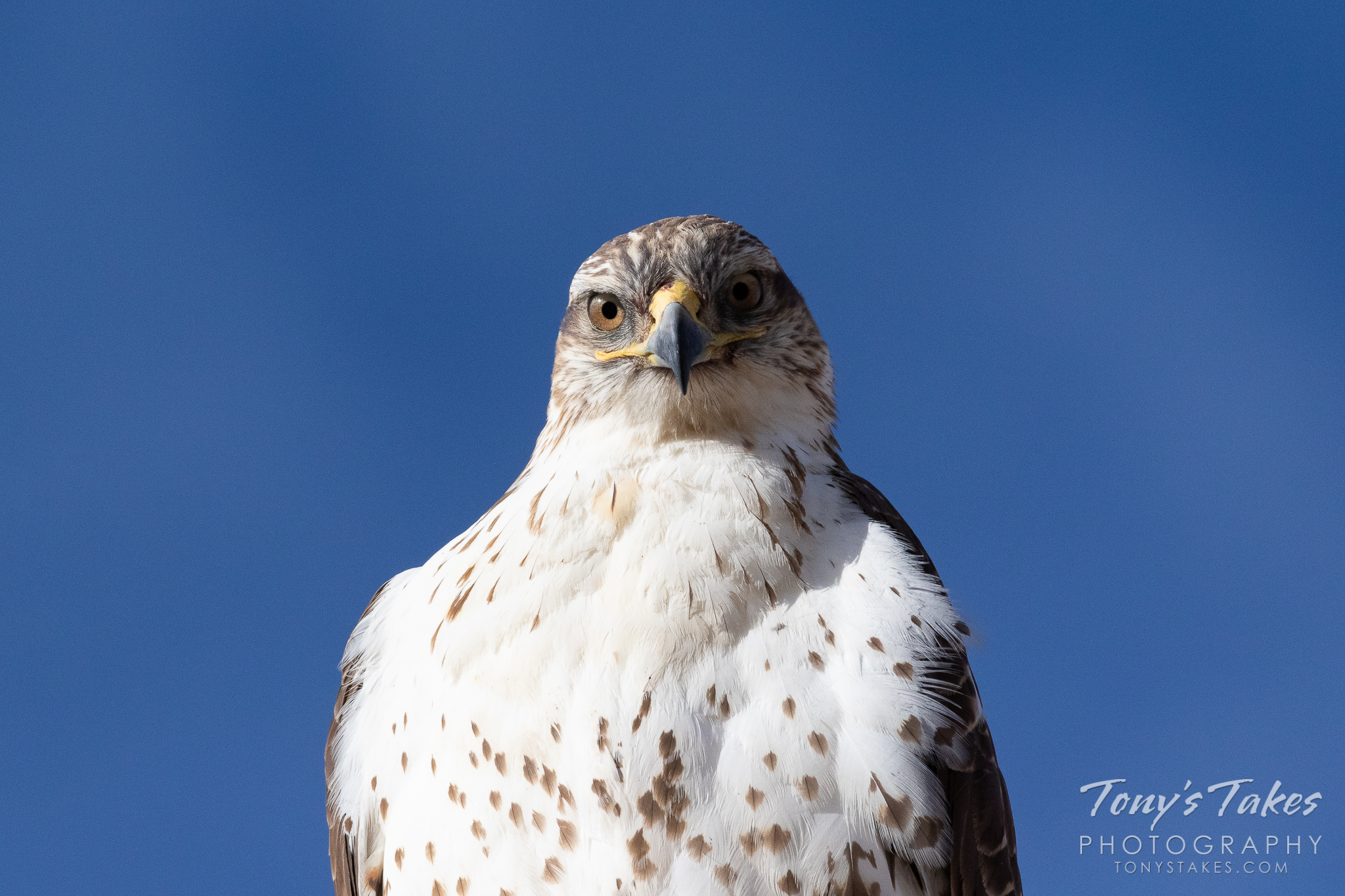 A ferruginous hawk stays focused on the photographer. (© Tony's Takes)