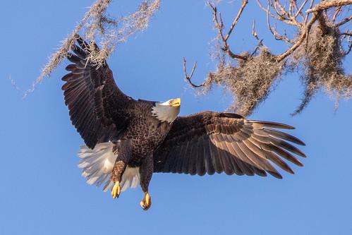 outdoor sky nature wildlife 7dm2 ocean canon florida bird raptor eagles bif flight