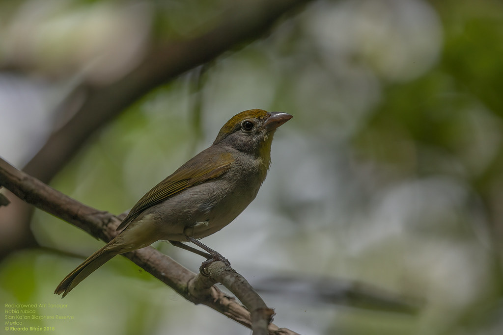 Red-crowned Ant Tanager female (Habia rubica) Sian Ka'an Biosphere Reserve, Mexico 2018
