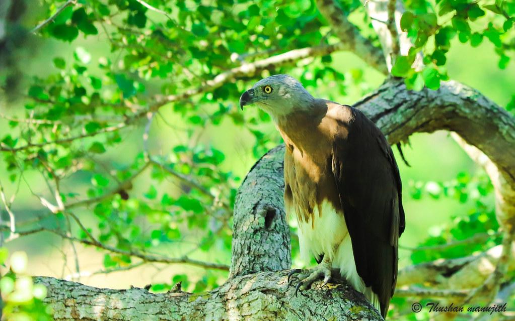 Gray headed fish eagle