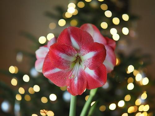 Red Amaryllis Flower Blossom Christmas Lights © Rote Blume Blüte Weihnachten Lichter ©