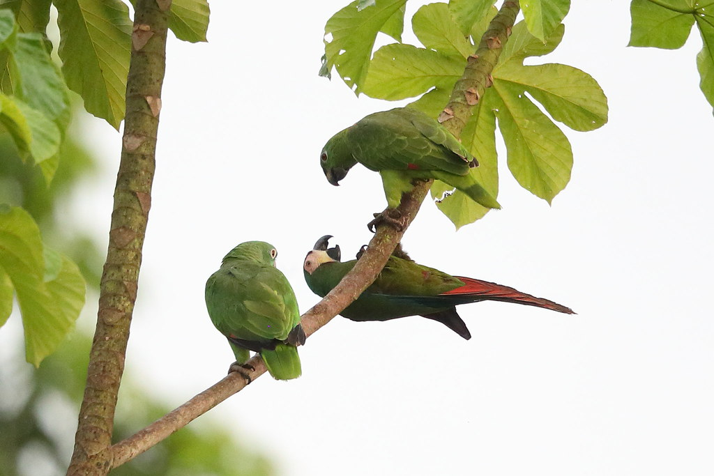 Yellow-crowned Amazons & Chestnut-fronted Macaw