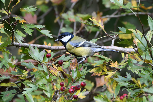 Great Tit at Warnham Nature Reserve