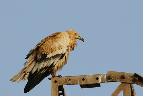 Canarian Egyptian Vulture | by Chris B@rlow