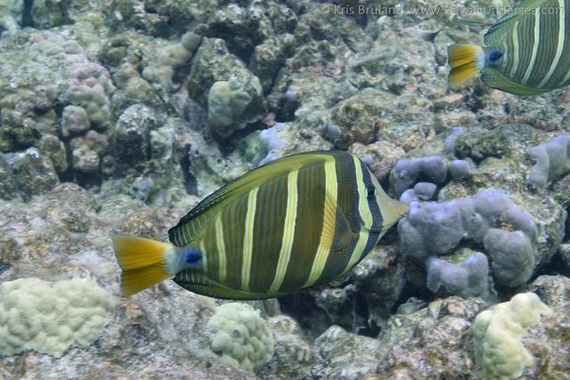 sailfin tang: Zebrasoma veliferum