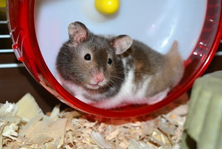'Sparky' The Hamster